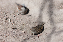 Sparrow In A Sand Pit