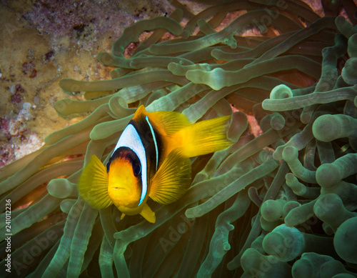 Fotografie, Tablou  Clownfish