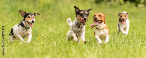 fototapeta na lodówkę A pack of small Jack Russell Terrier are running and playing togehter in the meadow with a ball