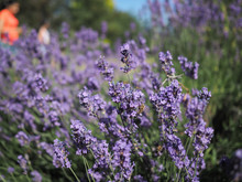 Lavender Plant In The Sun Bein...