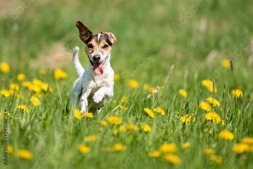 Fotografie, Obraz  Funny Jack Russell Terrier dog run in a green blooming meadow