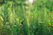 Black Swallowtail Butterfly On Milkweed Flowers.