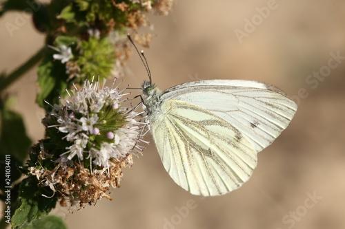 Fototapeta Motyl Bielinek Bytomkowiec obraz