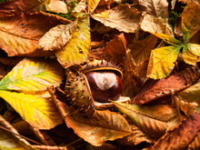 Seeds Of Horse Chesnut Fallen Down On Grass And Leaves