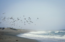 Scenic Landscape With A Flock Of Seagulls Flying Over Ocean Beach Near San Francisco, California