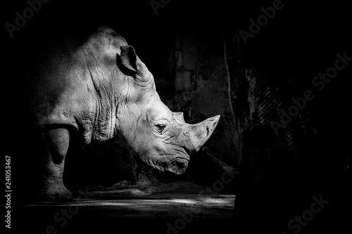 Poster Rhino Rhinocéros blanc