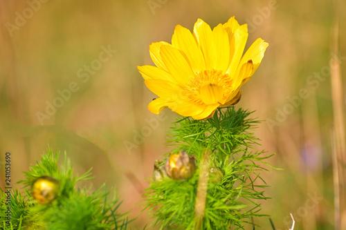 Photo Spring adonis, False Hellebore, Adonis vernalis L., Ranunculaceae