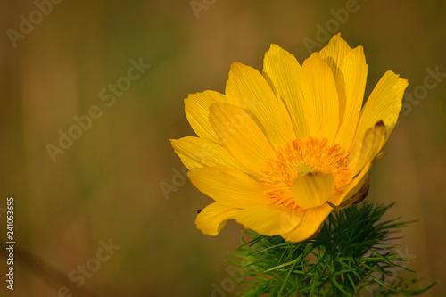 Spring adonis, False Hellebore, Adonis vernalis L., Ranunculaceae Canvas Print
