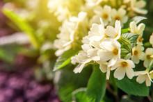 Primrose Primula With Yellow F...