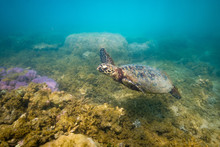 Green Sea Turtle Swimming At F...