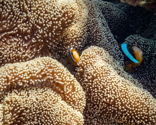 Baby clown fish and parent clown fish finding nemo Fototapet