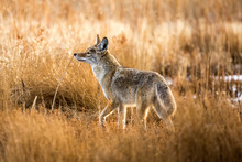 Wild Coyote Hunting In A Grass...