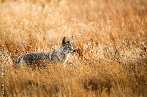 Canvas Wild coyote hunting in a grassy field in the winter