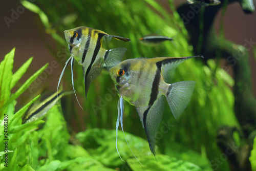Sea angel, pterophyllum on the background of green plants in the aquarium Canvas Print
