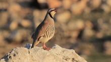 Chukar Stand On A Rock
