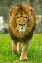 Male Lion Walking Forward