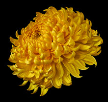 Yellow Flower Chrysanthemum Isolated On Black Background. For Design. Clearer Focus. Closeup. Nature.
