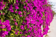 Decoration And Nature Concept - Beautiful Purple Flowers In Garden