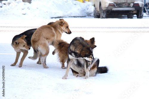 Photo  pack of stray dogs in the snow