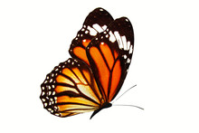 Beautiful Flying Orange Butterfly Isolated On White Background