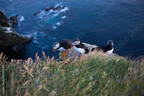 Photo  Pulcinella di mare