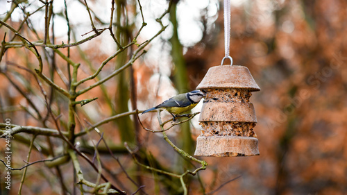Naklejka premium Modraszka w stacji karmienia ptaków
