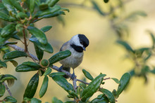 A Solitary Adorable Carolina Chickadee Songbird Searches For Insects While Perched On A Live Oak Tree Branch