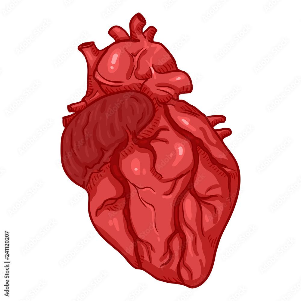 Vector Cartoon Human Heart Anatomical Organ Illustration Foto