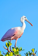 Roseate Spoonbill (Platalea Ajaja) With Long Legs, Rosey Light Pink Body, Black Tiped Wings Spread Wide, Curved White Neck, Shiny Flat Sunlit Beak Standing On Mangrove Branches Under Clear Blue Sky.