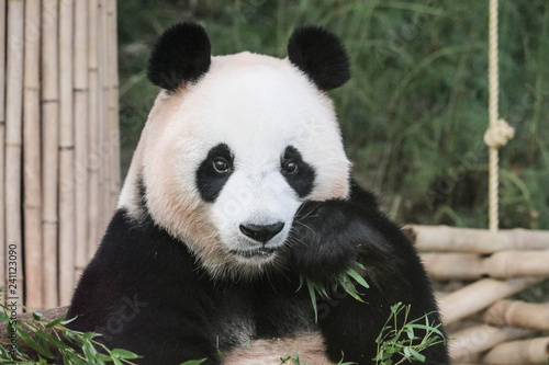 Stickers pour porte Panda Big panda eating green leaves close up