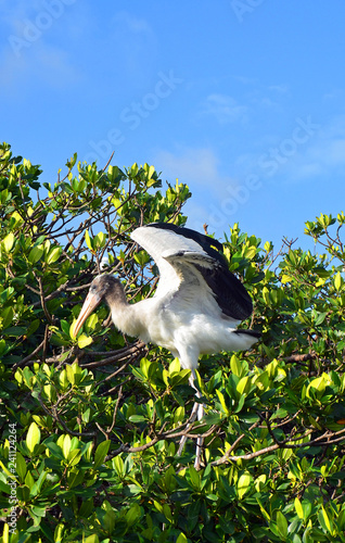 Photo  A juvenile wood stork (Mycteria americana) with long legs, white breast with black edged wings, downey neck and long yellow beak learning to fly from sunny mangroves under a patch of bright  blue sky