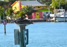 Florida Brown Pelican Sitting ...