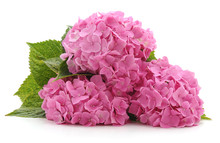 Pink Hydrangea With Leaves.