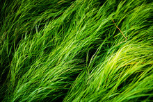 Long, Lush, Green Grass Texture Blowing In The Wind. Moody Natural Closeup Of Meadow Grass Blades, Animal Feed. Grass Lawn In Spring.