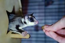 Gray Sugar Glider. Petaurus Breviceps Arboreal Gliding Possum. Exotic Animals In The Human Environment. Endangered Species In Captivity.