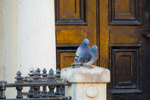 Couple of Doves Dover Taubenpaar