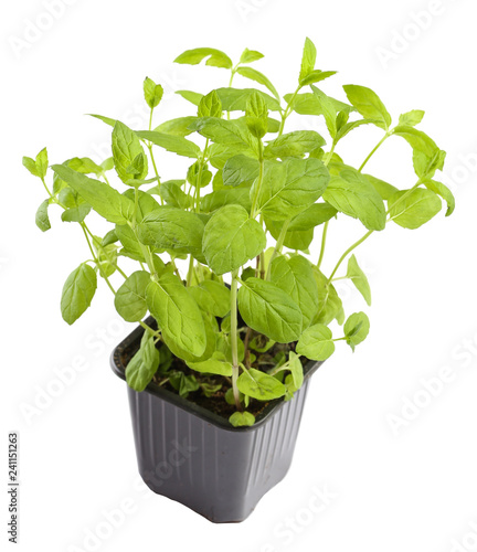 Plant of aroma mint in pod
