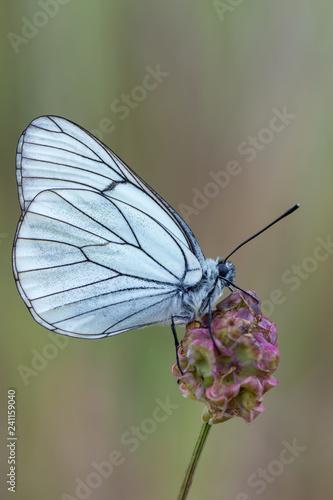 Photo the black-veined white - Aporia crataegi
