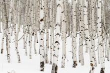 Many Aspen Trees With White Ba...
