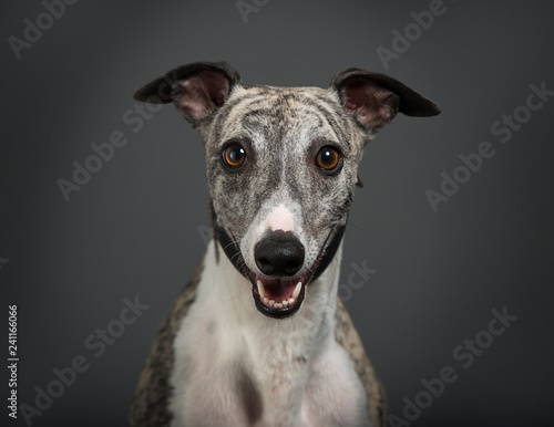 Photo  Smiling whippet
