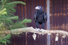 Wedge-tailed Eagle In Queensland, Australia