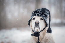 Golden Retriever Im Schnee