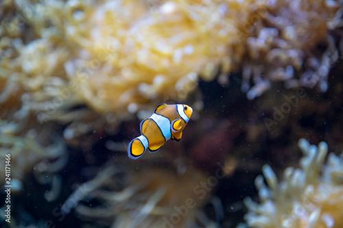 Obraz na płótnie clownfish in the aquarium