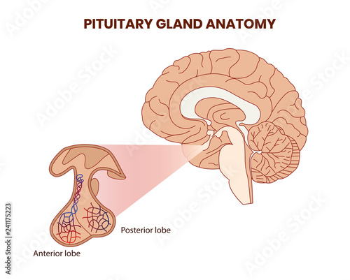Photo Pitutary gland anatomy illustration. Hypophysis vector