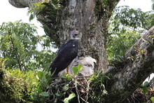 Harpy Eagle (Harpia Harpyja) I...