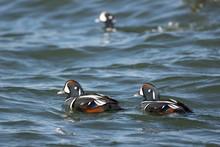 Male Harlequin Ducks - Histrionicus Histrionicus