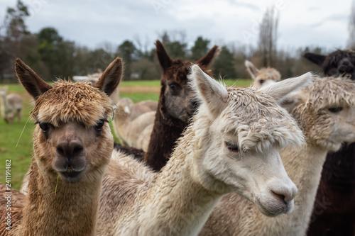 Fotografie, Obraz  Alpaca in a farm during a cloudy day.