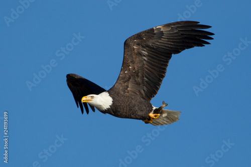 Eagle flying in the sky with a fish.