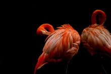 2 Red Flamingos Grooming Under...