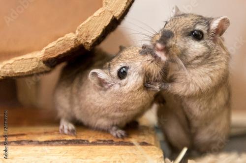 Fotografie, Obraz  Gerbils are the cutest animals ever